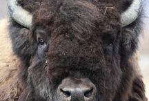 bizons