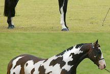 Pinto en Appaloosa paarden / Over de mooiste bonte paarden ter wereld