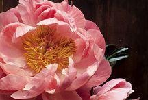 Flora - Chrysanthemums & Peonies
