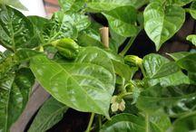 Chili Pflanzen