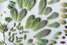 Succulents propagation