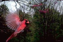 Bird, Cardinal  / by Erika Moore