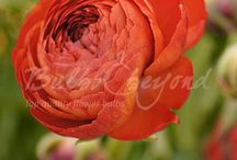 Summer Flowering Bulbs - Ranunculus / Ranunculus is a brightly coloured flower, which should not be missed in your garden. Our double flowered selection is also suitable for cut flowers.
