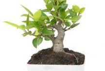Mame Bonsai / Semua tanaman dalam board ini bisa dikirim keseluruh Indonesia, silahkan order ya, tel: 0341-599399 I SMS center: 08569020300 atau kunjungi website kami www.kebunbibit.id