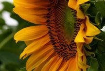 floricele vesele