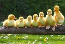 yellow fluffy duckies and  than thy grow up. / by Cindy De Lamper