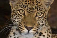Karula (Female leopard) / Karula (means the peaceful one)      Female of the north-east region     Born in February 2004     Mother to Thandi and Shadow, daughter of Safari     Spot pattern is 3/4