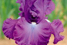 Gardening - Irises