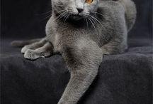Chartreux chat