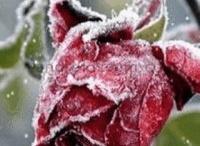 Kwiaty w śniegu