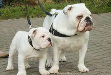 Vaya en Bentley / engelse bulldog