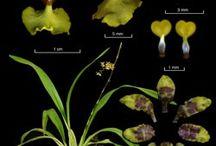 Meghatározás, orchideák