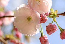 blossom but cherry blossom