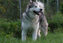 Payakootha / alaskan malamute