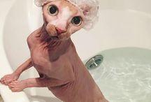 Sphnx Cat.