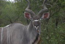Our Friends - The Kudu / The African Kudu
