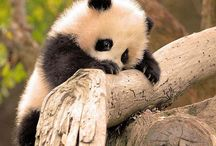 panditas