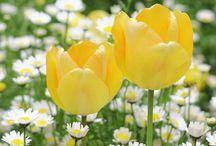 Flores - TULIPAS