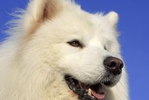 Jack the samoyed
