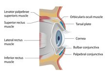 Eye Health / The eye is an extremely complex organ and captures light and transforms it into impulses which the brain interprets as images.