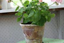 Geranium Pelargonum