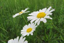 Čeleď hvězdnicovité / rostliny v čeledi hvězdnicovité