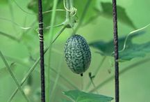 Cucamelon / by Terroir Seeds