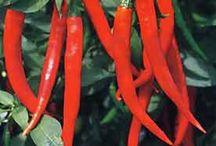 BUDIDAYA PERTANIAN ORGANIK / Artikel Budidaya Pertanian dengan menggunakan pupuk organik Nasa ( PT Natural Nusantara ).