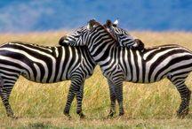 Tapety - zwierzęta - zebry