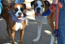 Boxer Dogs / Anything and everything about and having to do with our favorite breed!