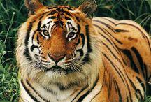 Tapety - zwierzęta - dzikie koty