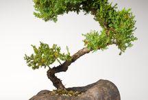 Bonsai Related / All things bonsai