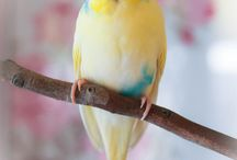 Budgies / Little budgerigars