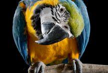 papagaje