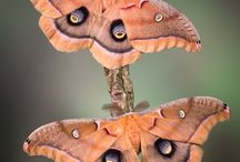 Lepidoptera Butterfly and moth