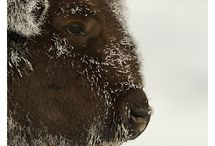Bison / by Sara Whittemore