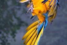 Macaw / The most charming bird ever! Macaws of every types and every color are simply mesmerizing