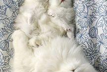 Persian Fluff