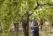 Grapes sapling-üzüm fidanı