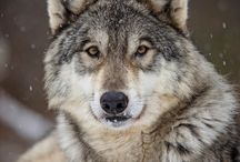 Animals | Wolf / Wolves, wolf