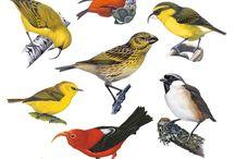 Hawaiian Birds