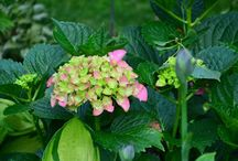 """The Incrediball Hydrangea from Annabelle to Forever and Ever / Hydrangea!  Should one of these lovelies finds itself in the right spot, the show is unlike any other perennial shrub.  Adding structure and soft hues to the garden, these low maintenance beauties are a sophisticated yet simple solution for a busy gardener.  The look articulates high fashion, but the price bespeaks """"outlet mall."""""""