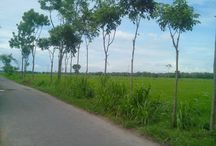 rice field (sawah) east java, indonesia
