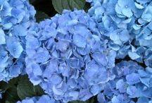 Hydrangeas - Shades of Blue