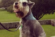 The Muse - Rio The Schnauzer / Rio, our Miniature Schnauzer is the inspiration for Animal Outfitters.  Often larking about when not crash testing prototypes.  Follow his adventures.