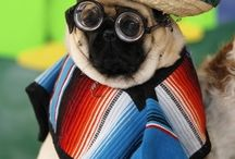 Mexican Pugs