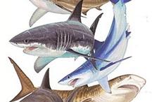 sharks / by Joann Corsin Liszewski