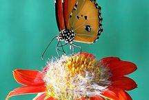 marihøner-sommerfugler