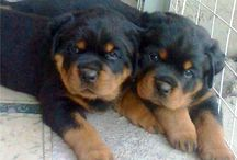 Satılık Yavru Rottweiler / Satılık Rottweiler yavruları ilanları  http://rottweiler.yavruilani.com