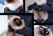 cats ragdoll